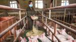 Huawei chuyển sang chăn nuôi lợn, áp dụng cả công nghệ nhận diện khuôn mặt